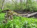 Hezký lužní úkaz, nalomený strom padlý v slepém rameni.