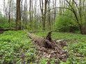 Živá jarní zeleň v Litovelském Pomoraví.