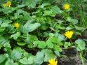 Na jaře luhy kvetou nejenom žlutě.