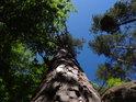 Větrem lehce ohnutá borovice pod Klokočskými průchody.