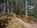 Lesní pěšina mezi borovicemi a usychajícím borůvčím vede po severovýchodní hraně Klokočských skal.