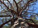 Vlnící se borovice s hlavou zakloněnou.