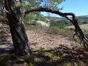 Borová větev jako chtěla zajišťovat strom a přecházet tak v kořen.