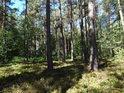 Borový les s borůvčím.