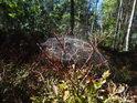 Romantické pavučiny na zpola uschlém borůvčí na slunečním svitu.