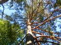 Prosluněná borovice hraje všemi barvami.
