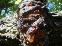 Třešňový pryskyřice tu teče proudem.