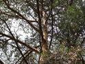 Pohled do koruny menší borovice.
