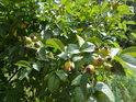 Šípky rostou do krásy, ale počátkem srpna jim do zralosti ještě dost schází.