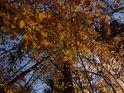 Bukové listy v podzimní barvě.