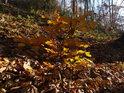 Mladý buk udržel listy déle, než okolní starší stromy.