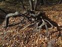 Kořeny dříve vyvráceného dubu.