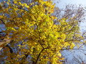 Javorové  listy v podzimním žlutém odstínu.
