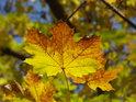 Javorový list přechází ze žluté do okru.