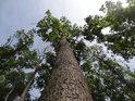 Duby jsou tu tak stejné, že pozorovateli dojde, že byly vysazeny a nejde tudíž o les přirozený.