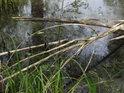 Klacky při břehu stojaté vody, malého rybníka.