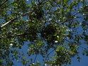 Jmelí na topolové větvi oproti modré obloze vypadá možná romanticky, to však nic nemění v tom ohledu, že je to parazit.
