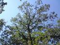 Lhostejno, zda jsme v luzích, pohled do koruny stromu vždy uklidní duši.