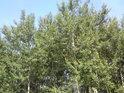 Topoly patří do luhů a k Labi také.