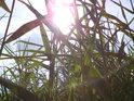 Sluníčko za rákosím kouzlí se svými paprsky.