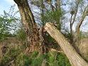 Ulomený vrbový kmen v levobřežní nivě řeky Opavy u Kravař.