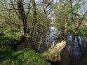 Temné levobřežní slepé rameno řeky Opavy pod městem Kravaře.