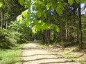 Mladé bukové listí nad cestou na Králický Sněžník.