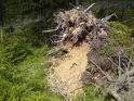 Povalený kořen a pod ním to vypadá na písek.