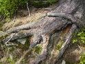 Detail kořene smrku v sytých jarních barvách.