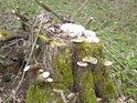 Obřezaný pařez si nacházejí mechy i houby.