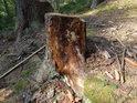 Rozpadající se smrkový pařez v lesním svahu.