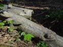 Zlomená buková větev napadená choroši.