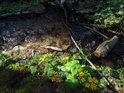 Ohyb lesního potůčku s blatouchy na břehu.