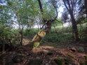 Některé stromy zvládají růst značně do strany.