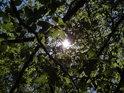 Slunce za mladým bukovým listím.