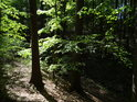 Slunce proniklo do bukového lesa.