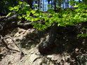 Jasná zeleň jarního bukového listí ve slunečních paprscích poněkud mate, ale kořen, který je překryt je smrkový.