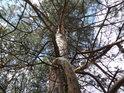 Zajímavě rostlé borové větve.