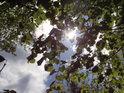 Sluníčko za olšovými listy na Kučích.