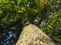 Dubový kmen, bukové listy, tak to vypadá, pokud stromy rostou blízko.