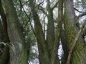 Mohutně rozvětvená vrba by mohla být považována za gigantický keř.