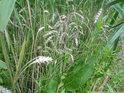 Zalétnutá pšenice jež v mokřadu dávno dozrála.