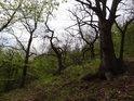 Pevné kořeny a nízké kmeny, tak se přizpůsobují stromy v erozním svahu.