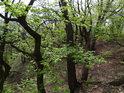 Svěží listy dubů letních na Lebeďáku.
