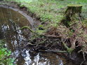 Na kořenech smrkového pařezu je znát, že nedávno tekl potok o kousek vedle.