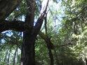 V některých místech má Libický luh charakter středoevropského lužního pralesa.