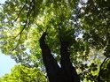 Velký stromový prak.