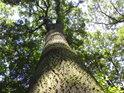 Kolem některých dubů se udrží světlo dokonce i v luzích.