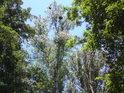 Topoly bílé se vyjímají svou barvou mezi duby, oba druhy stromů jsou v luzích přirozené.