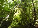 Netýkavky žláznaté se dobývají na mechem obrostlý kmen stále stojícího stromu.